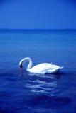 Bird swan Lake Stock Photo