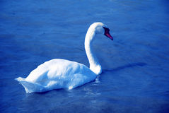 Bird swan Lake Stock Photography