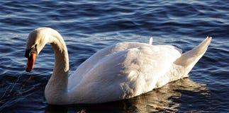Bird swan Royalty Free Stock Photo
