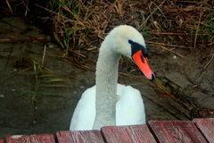 Bird swan on the lake shore. Royalty Free Stock Image