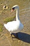 Bird swan closeup posing royalty free stock images