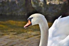 Bird, Swan, Water Bird, Beak stock image