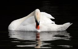 Bird, Swan, Water Bird, Ducks Geese And Swans Royalty Free Stock Photography