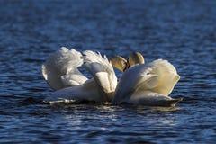 Bird, Swan, Water Bird, Seabird royalty free stock photography