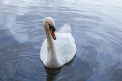 Bird, Swan, Water Bird, Water Stock Photography