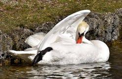 Bird, Swan, Water, Water Bird stock photography