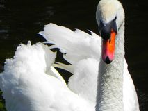 Bird, Swan, Water, Water Bird Royalty Free Stock Photography