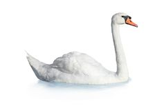 Bird swan Royalty Free Stock Image