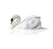 Bird swan. On a white background Royalty Free Stock Photography