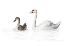 Bird swan Stock Photography