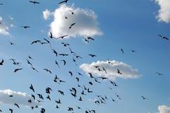 Bird swarm. Pigeons swarm against cloudy blue sky. Zagreb, Croatia Royalty Free Stock Photos