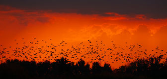 Bird swarm in sunset. Bird swarm silhouette in sunset Royalty Free Stock Photography