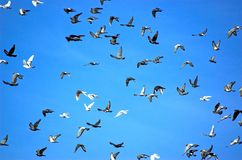 Bird Swarm Royalty Free Stock Photo