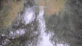 Bird swimming on a lake in autumn. With green reflections of trees on the water surface stock video footage