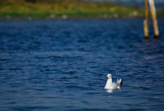 Bird swimming in lake Stock Images