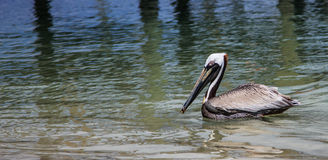 Bird swimming. The view of a bird swimming near Bradenton Florida Royalty Free Stock Images