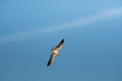 Bird swoops down clear sky Royalty Free Stock Images