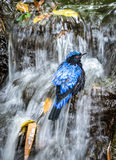 Bird taking a bath in the waterfall Stock Photography