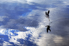 Bird taking flight. In the open water Royalty Free Stock Photo