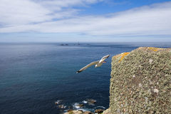 Bird taking flight from a cliff in cornwall royalty free stock image