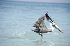 Bird taking off in the sea Stock Photo