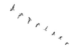Bird taking off to clear sky (b&w) Royalty Free Stock Photography