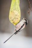Bird on tallow ball Royalty Free Stock Photo