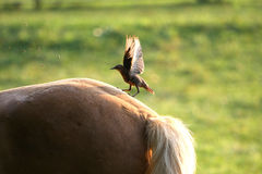Bird on Tan Horse. In morning light feeding on flies Stock Photo