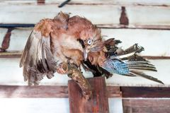 Bird taxidermy remains on timber Stock Image