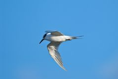 Bird tern flying Royalty Free Stock Images