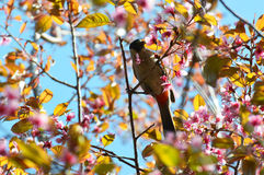 Bird on thai sakura flower Royalty Free Stock Image