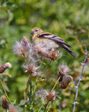 Bird in the thistles Stock Image