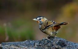 BIRD: Thrush Stock Photography