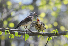 Bird thrush feeding her little Chicks long pink worm on a tree i. Bird feeding her little Chicks long pink worm on a tree in spring stock images