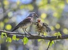 Bird thrush feeding her little Chicks long worm on a tree in sp. Bird thrush feeding little Chicks long pink worm on a tree in spring royalty free stock image