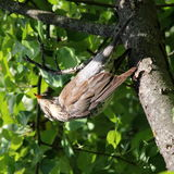 Bird thrush. Little bird on branch between green leaves in summer park Moscow Rassia Birds thrush blackbird stock photos