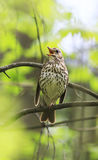 Bird  thrush sings loudly in the spring woods Stock Images