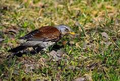 A Bird thrush. (Turdus pilaris). Thrush bird searches for food in the grass in spring Royalty Free Stock Images