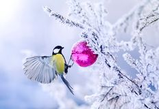 Beautiful Christmas card bird tit on a branch of a festive spruc. Bird tit on a branch of a festive spruce with shiny hoarfrost hanging on a New Year glass ball royalty free stock photography