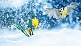 Elegant holiday card bird tit flies widely spreading its wings to the first delicate yellow flowers crocuses make their way out stock images
