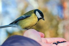 Bird tit sits on the palm of a man with seeds, the concept of caring for animals in nature in winter, stock image