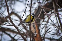 A bird tit is sitting on an apple tree branch, against a winter sky royalty free stock photography