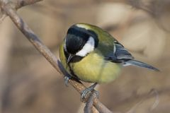Bird tit on a tree branch in winter Royalty Free Stock Photo