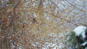 Bird tit in winter in the bushes. Closeup portrait of a wild bird in winter in a park stock footage