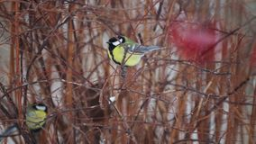 Bird tit in winter in the bushes. Closeup portrait of a wild bird in winter in a park stock video footage