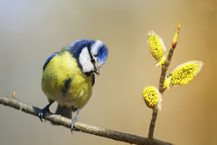 Bird titmouse sitting on a branch of a blossoming furry Royalty Free Stock Photo