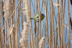 Bird titmouse. Tit bird jumping in the reeds Royalty Free Stock Image