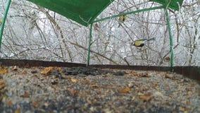 Bird tits feeder inside. Bird tits feeding seed feed in winter close-up stock video footage