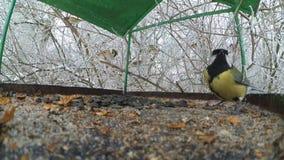 Bird tits feeder inside. Bird tits feeding seed feed in winter close-up stock video