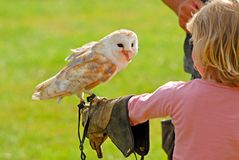 Bird at the top of girls hand. Girl is holding a barn owl with falconer's glove Stock Photography